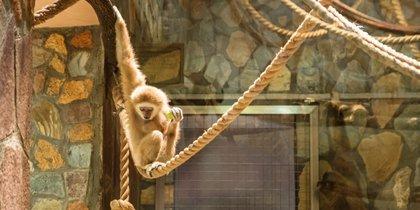 Гиббоны поют грустные песни: животные Ленинградского зоопарка скучают по посетителям