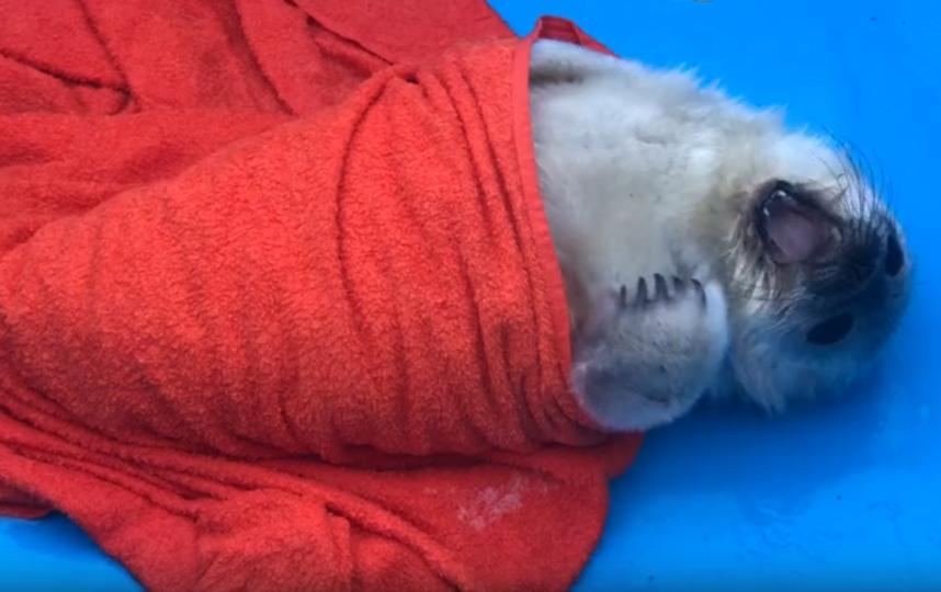 Малыш-тюлень. Фото sealrescue, vk.com