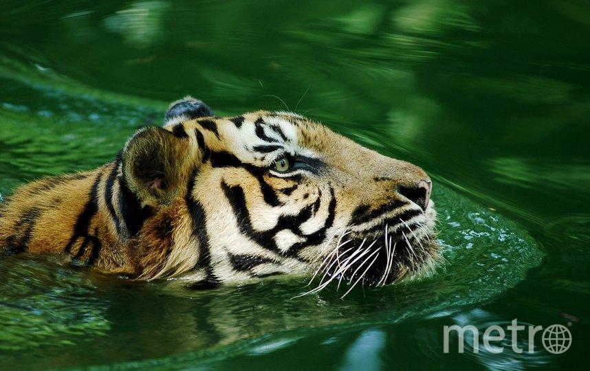 Малайский тигр, архив. Фото pixabay