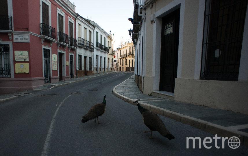 Павлины в испанском городе Ронда. 3 апреля. Фото AFP