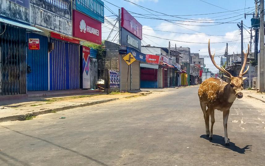 Дикий олень бродит пустынной улице во время общенационального карантина в Тринкомали, Шри-Ланка. Фото AFP