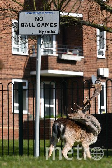 Олень перед жилым комплексом в восточном Лондоне. Фото AFP