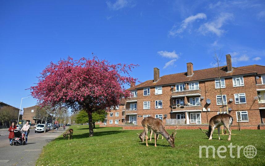Стадо оленей перед жилым комплексом в восточном Лондоне. Фото AFP