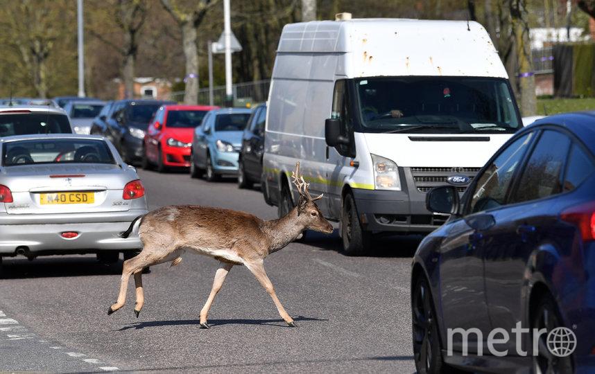 Олень перебегает дорогу в Лондоне. Фото AFP