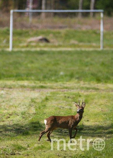 Олень на футбольном поле во французском городе Реймс. Фото AFP