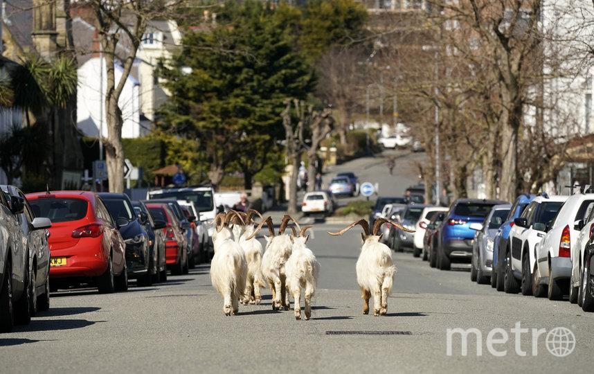 Стадо коз в Лландидно, Уэльс. Фото Getty