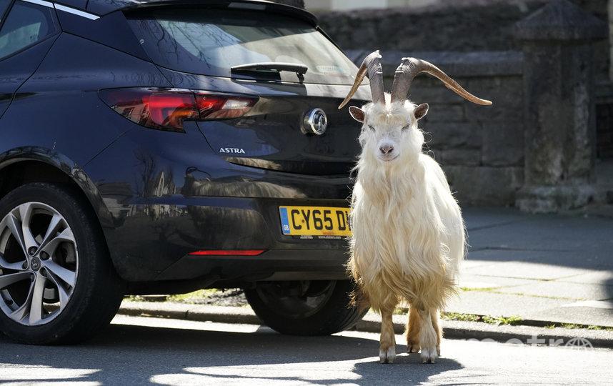 Козы в Уэльсе. Фото Getty