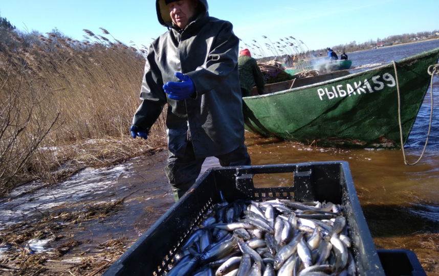 В Волхове добывается до 25 тонн рыбы в сутки. Фото lenobl.ru