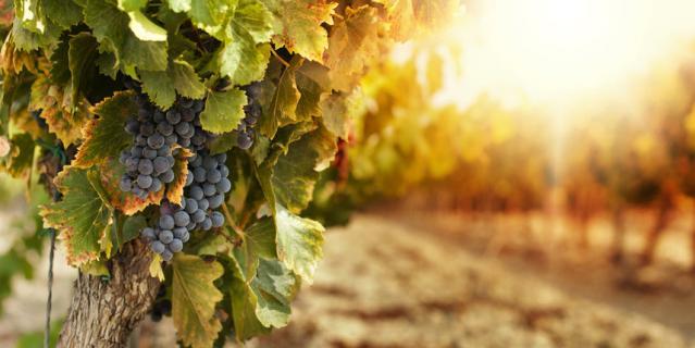 Вам расскажут всё о сортах винограда, из которых делается вино.