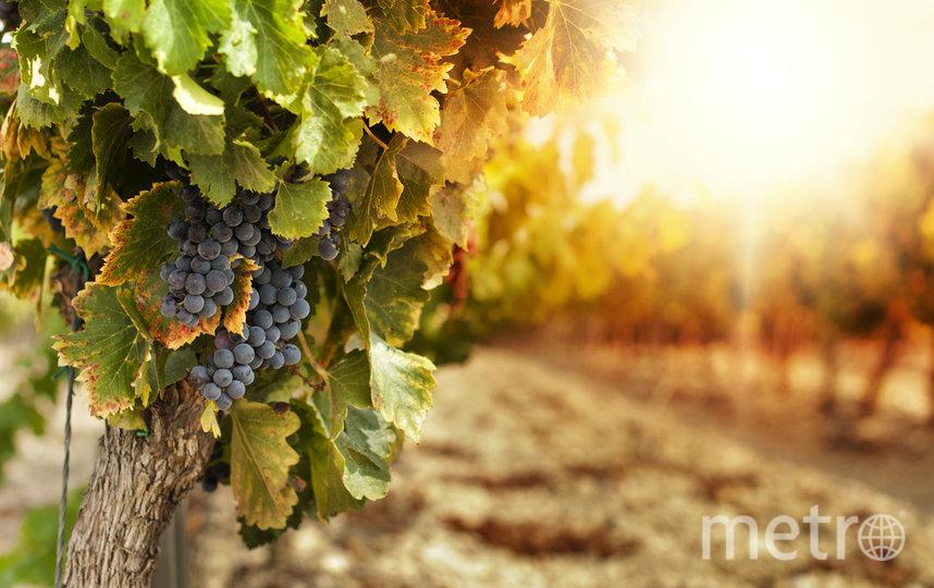 """Вам расскажут всё о сортах винограда, из которых делается вино. Фото depositphotos.com, """"Metro"""""""
