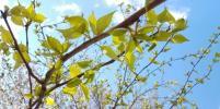 Весна приходит в Москву: в столице распустились первые листочки