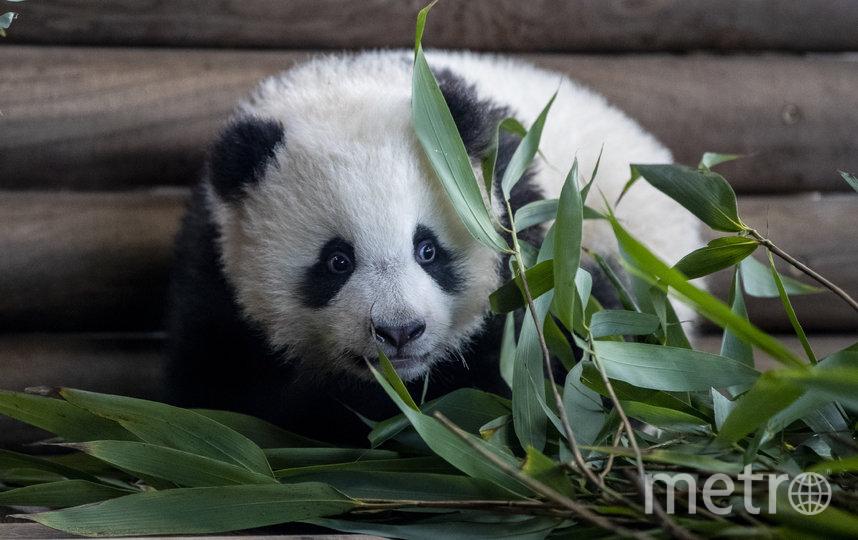 Панды-близнецы в Берлинском зоопарке привлекали много посетителей. Фото Getty