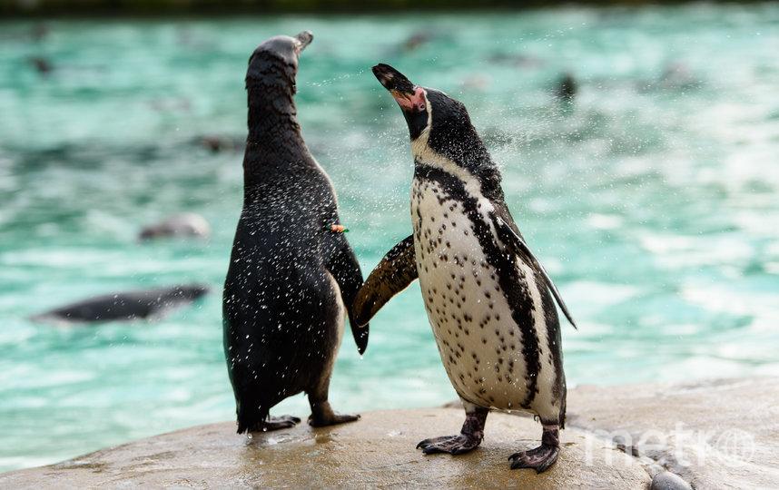 Пингвины ежедневно нуждаются в большом количестве свежей рыбы. Фото Getty
