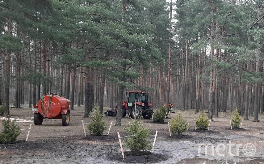 """Высадка деревьев в парке Сосновка. Фото gov.spb.ru/gov/otrasl/blago, """"Metro"""""""