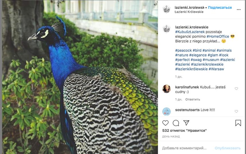 Павлин в парке Лазенки остаётся элегантными несмотря на home-office, шутят в официальном аккаунте дворцово-садового комплекса, который находится в центре Варшавы. Фото Instagram @lazienki.krolewskie