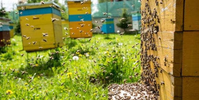 Разводить пчёл –непростое дело.