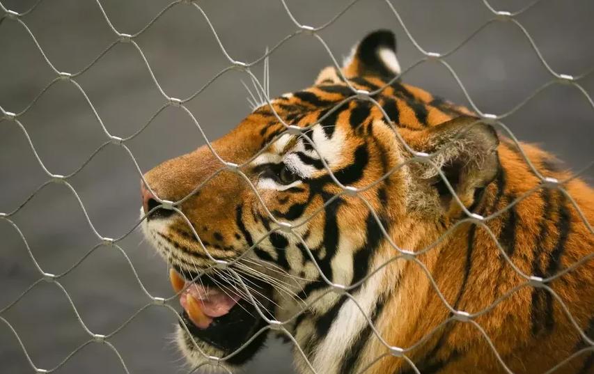У цирковых хищников – тигров и львов – особый статус, они репетируют в зрительном зале. Фото Василий Кузьмичёнок