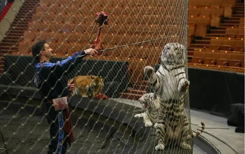 Тигров дрессирует Эдгар Запашный. Фото Василий Кузьмичёнок