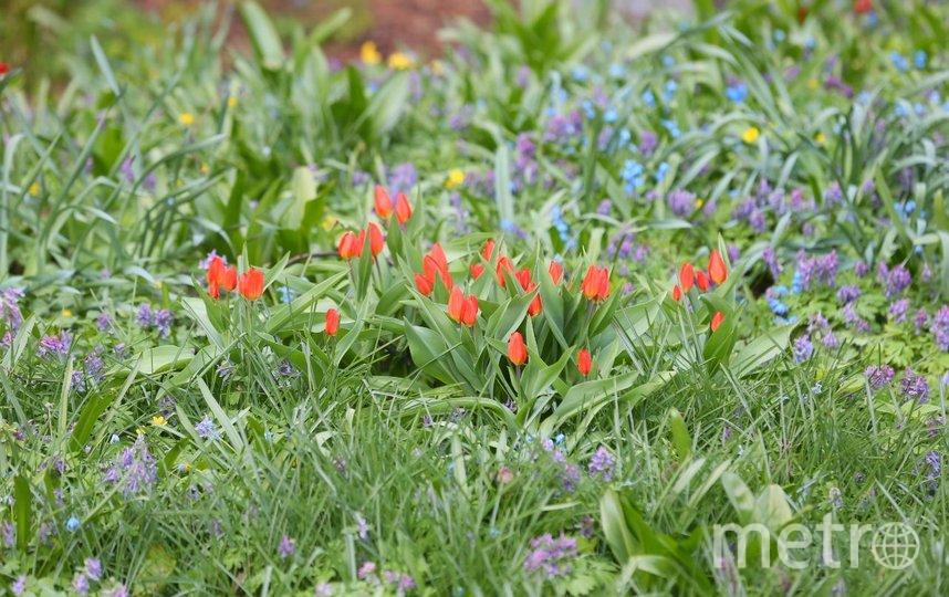 Тюльпаны. Фото Василий Кузьмичёнок