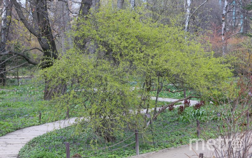 Принсепия китайская. Фото Василий Кузьмичёнок