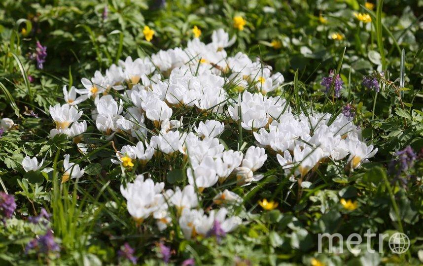 Аномально рано распустились тюльпаны, нарциссы и другие растения. Фото Василий Кузьмичёнок