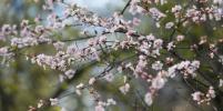 Сакура, магнолия и другие растения расцвели в Ботаническом саду МГУ: фото весенней сказки
