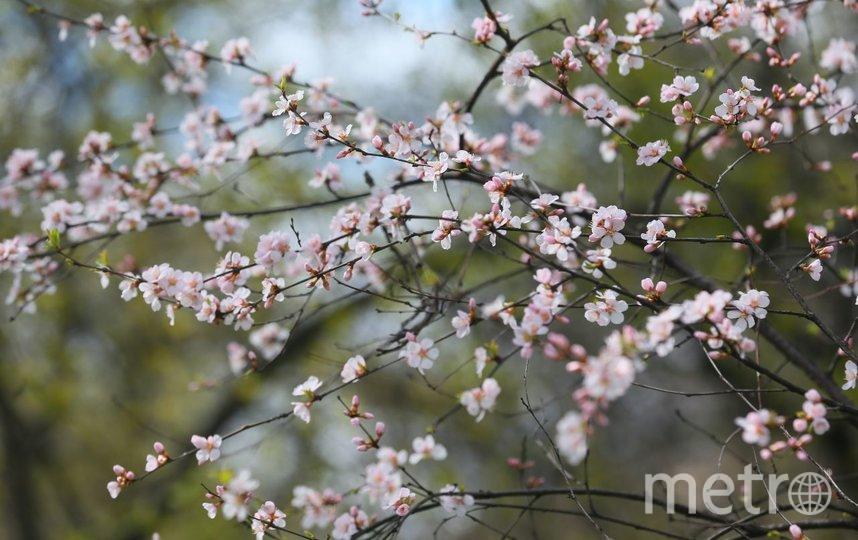 Сакура в этом году расцвела аномально рано. Фото Василий Кузьмичёнок