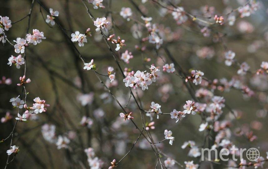 Церазолуизения чичанская - природный гибрид вишни и миндаля из Средней Азии. Фото Василий Кузьмичёнок