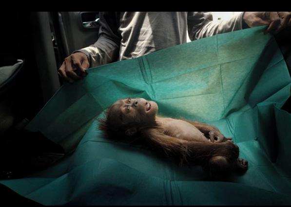 """1-е место в категории """"Природа"""". Ален Шредер. Месячныи орангутан умер вскоре после того, как был найден со своей; раненой матерью на плантации пальмового масла. Суматра, Индонезия. Фото Instagram World Press Photo"""