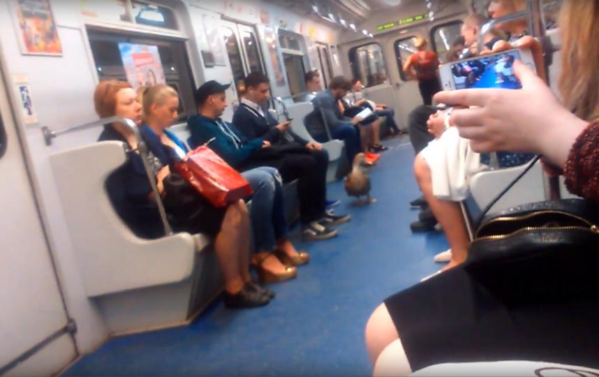 Утка в петербургском метро смущает пассажиров. Фото Скриншот Youtube