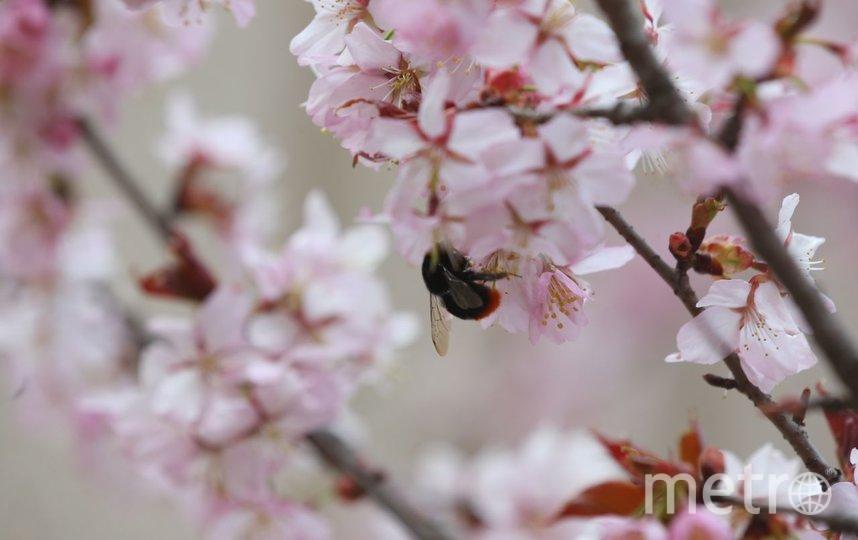 Цветение сакуры. Фото Василий Кузьмичёнок