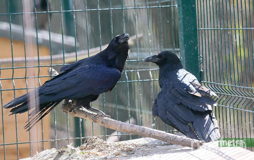 Эти чёрные вороны поступили в орнитарий с ранами от огнестрельного оружия. Их уже вылечили, но не выпускают в парк, потому что эти птицы могут напасть на людей. Фото Василий Кузьмичёнок