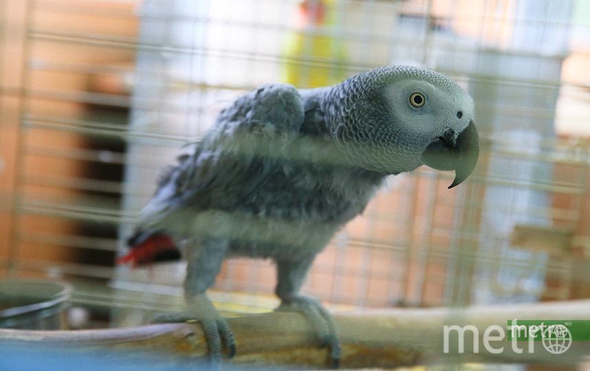 Этого попугая привезли совсем облезлым, но постепенно оперение восстанавливается. Фото Василий Кузьмичёнок