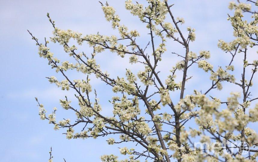 """Любуемся цветением яблонь и вишнёвых деревьев в Москве. Фото Василий Кузьмичёнок, """"Metro"""""""