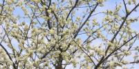 В Москве зацвели яблони и вишни: фото