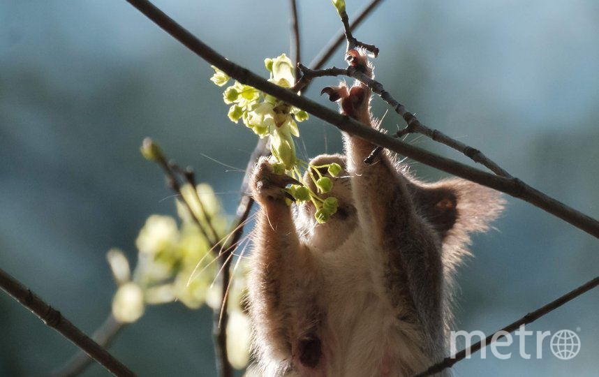 """Белки выводят молодняк во взрослую жизнь: учат их искать еду и прыгать по деревьям. Фото Алена Бобрович, """"Metro"""""""