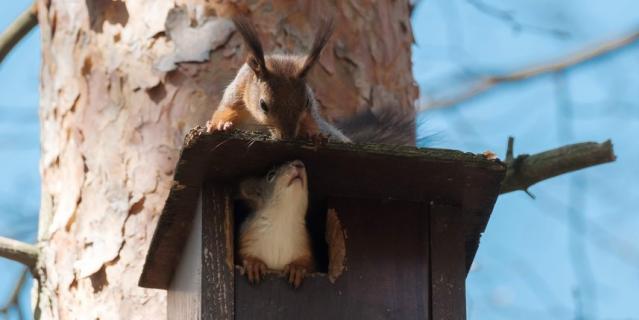 Белки выводят молодняк во взрослую жизнь: учат их искать еду и прыгать по деревьям.