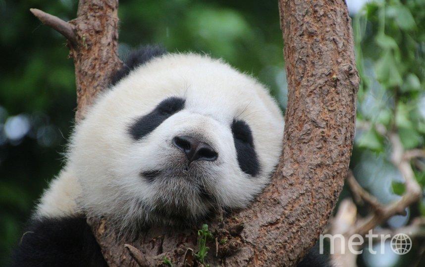 Панда. Фото Pixabay