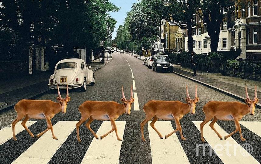 Сайгаки на обложке альбома The Beatles 'Abbey Road'. Фото скриншот @dariathebu
