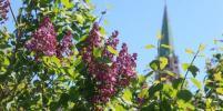 Май 2020. Как цветёт сирень в Москве: фото