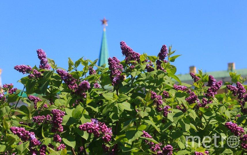 """Как цветёт сирень в столице. Фото Василий Кузьмичёнок, """"Metro"""""""