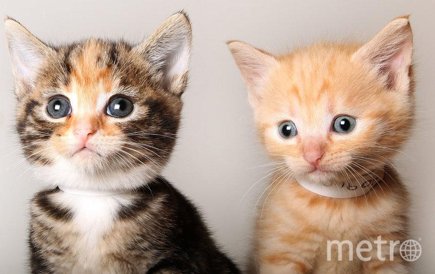 Коты с коронавирусом могут быть опасны друг для друга. Фото Getty