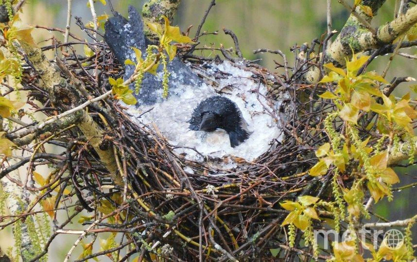 Петербуржцы заметили ворону-мать, защищающую собой гнездо от града. Фото spb_today/Елена Лесина