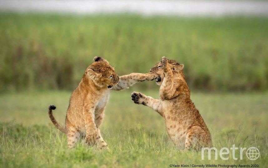 "Фотография ""Борьба за титул в лёгком весе"". Фото Klein Yarin | Comedy Wildlife Photography Awards"