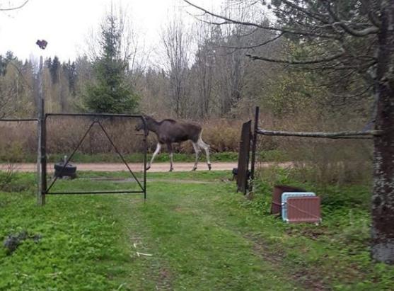 Дикие животные стали чаще выходить к людям. Фото Instagram @volhov_smi