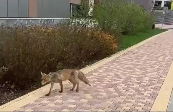 """Дикие животные стали чаще выходить к людям. Фото Скриншот видео Telegram-канал """"Baza"""""""