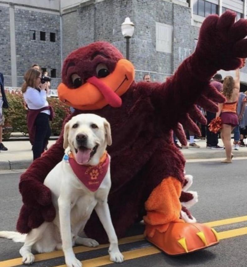Мус с талисманом университета. Лабрадор является всеобщим любимцем. Фото Instagram @vttherapydogs