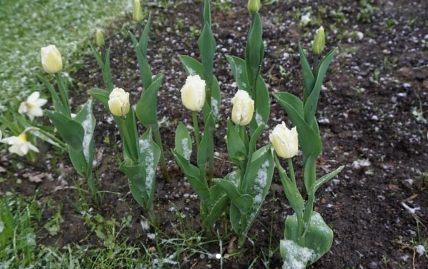 Тюльпаны отцветают. Снег. Фото Instagram: @tan_otstan_