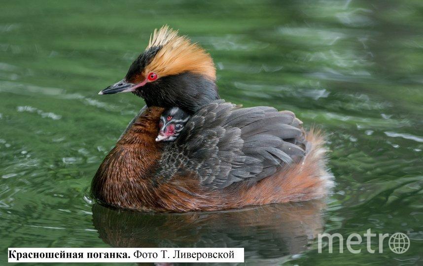 Красношейная поганка. Фото www.gov.spb.ru