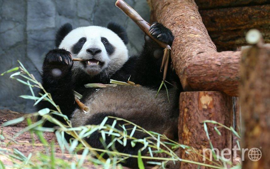 """Панды не заметили перемен в """"бамбуковом"""" меню. Фото Василий Кузьмичёнок"""